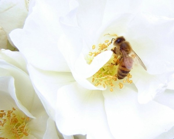 honey bee on white rose